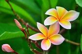 Frangipani flower — Stock Photo