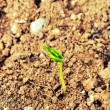 Stock Photo: Emerging seedling