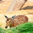 Deer — Stock Photo #30579617