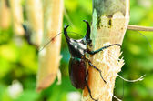 Escarabajo rinoceronte — Foto de Stock