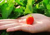 Closeup of fresh organic strawberries — Stock Photo