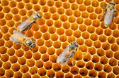 Bees honey cells — Stock Photo