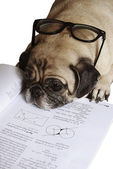 Dog Fell Asleep while doing her homework — Stock Photo