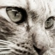 Cat Closeup — Stock Photo