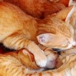 Cat nursing her kittens — Stock Photo