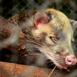 Stock Photo: AsiPalm Civet