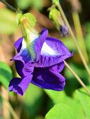 Blue Butterfly Pea Flowers — Stock fotografie