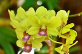 Beautiful Orchid yellow — Stock Photo