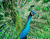 Beautiful peacock — Foto Stock