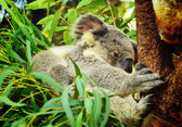 Koala Bear — Stock Photo