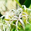 Stock Photo: Crinum flowers