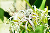 Crinum flowers — Stock Photo
