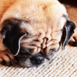 Portrait of sad purebred pug dog — Stock Photo