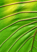 Big green leaf — Stock Photo