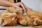 Gato al veterinario — Stockfoto