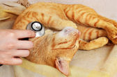 Cat at veterinarian — Foto Stock