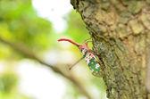 Lanternfly — Stock Photo