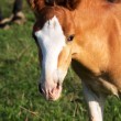 Stock Photo: Foal portrait