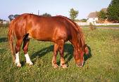 Pâturage cheval — Photo
