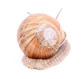 Snail isolated — Stock Photo