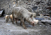 Pig with piglets — Foto Stock