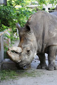 Rhinoceros — Stock Photo
