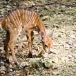 Young dappled deer — 图库照片
