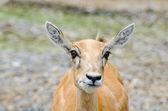 Young dappled deer — Stock Photo