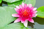 The red lotus flower. — Stock Photo