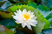 White lotus. — Stock Photo