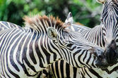 Zebra in nature. — Stock Photo