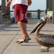 Brave Florida Pelican — Stock Photo