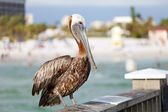 Clearwater Beach Florida Pelican — Stock Photo