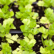 Celery Plants — Stock Photo