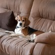 Beagle Dog on Couch — Stock Photo #28090865