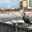 Clearwater Beach FloridPelican — Stock Photo #31831767