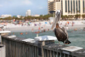 Clearwater Beach Florida Pelican — Stock Photo