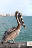 Wild Florida Pelican — Stock Photo