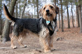 Borkie Dog in the Woods — Stock Photo
