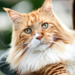 Maine Coon Cat — Photo