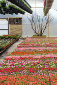 Greenhouse Nursery with Flowers — Stock Photo