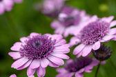 Purple Flowers Macro — Stock Photo