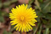 Hierba de la flor del diente de león — Foto de Stock