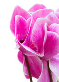 Cyclamen pink flower — Stock Photo