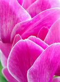 Cyclamen pink flower — Foto Stock