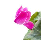 цикламен розовый цветок — Стоковое фото