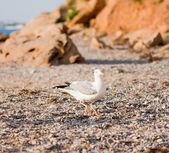 Fiskmåsar på stranden — Stockfoto