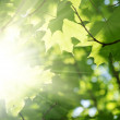 Stock Photo: Green leaves and sun beams