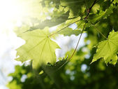 Green leaves and sun beams — Stock Photo