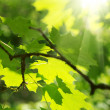 Royalty-Free Stock Photo: Green leaves and sun beams